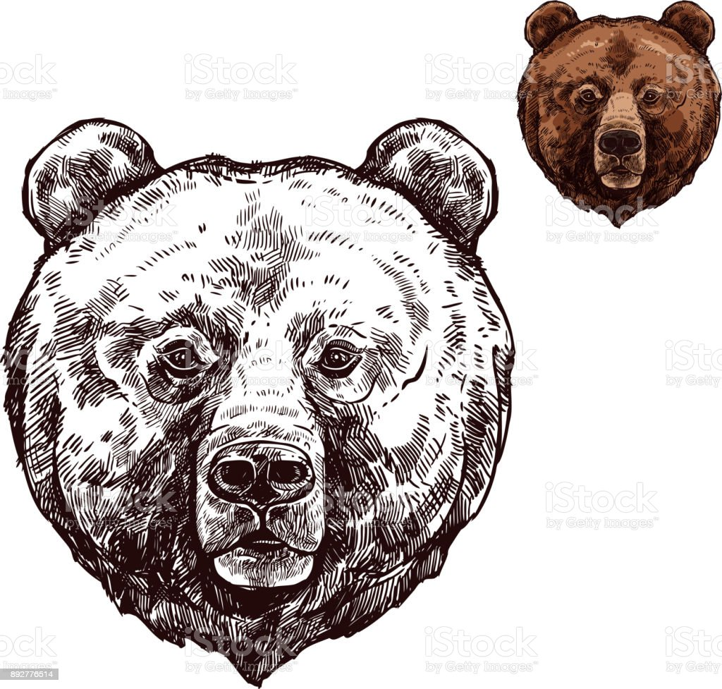 Bear or grizzly animal sketch of wild predator vector art illustration