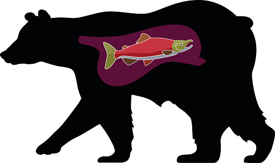 bear with a salmon fish in his stomach