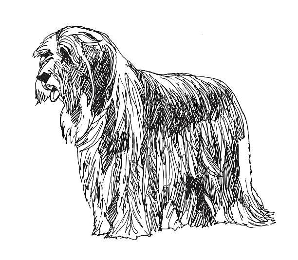 Bearded Collie Dog. Vector. hand drawn vector art illustration