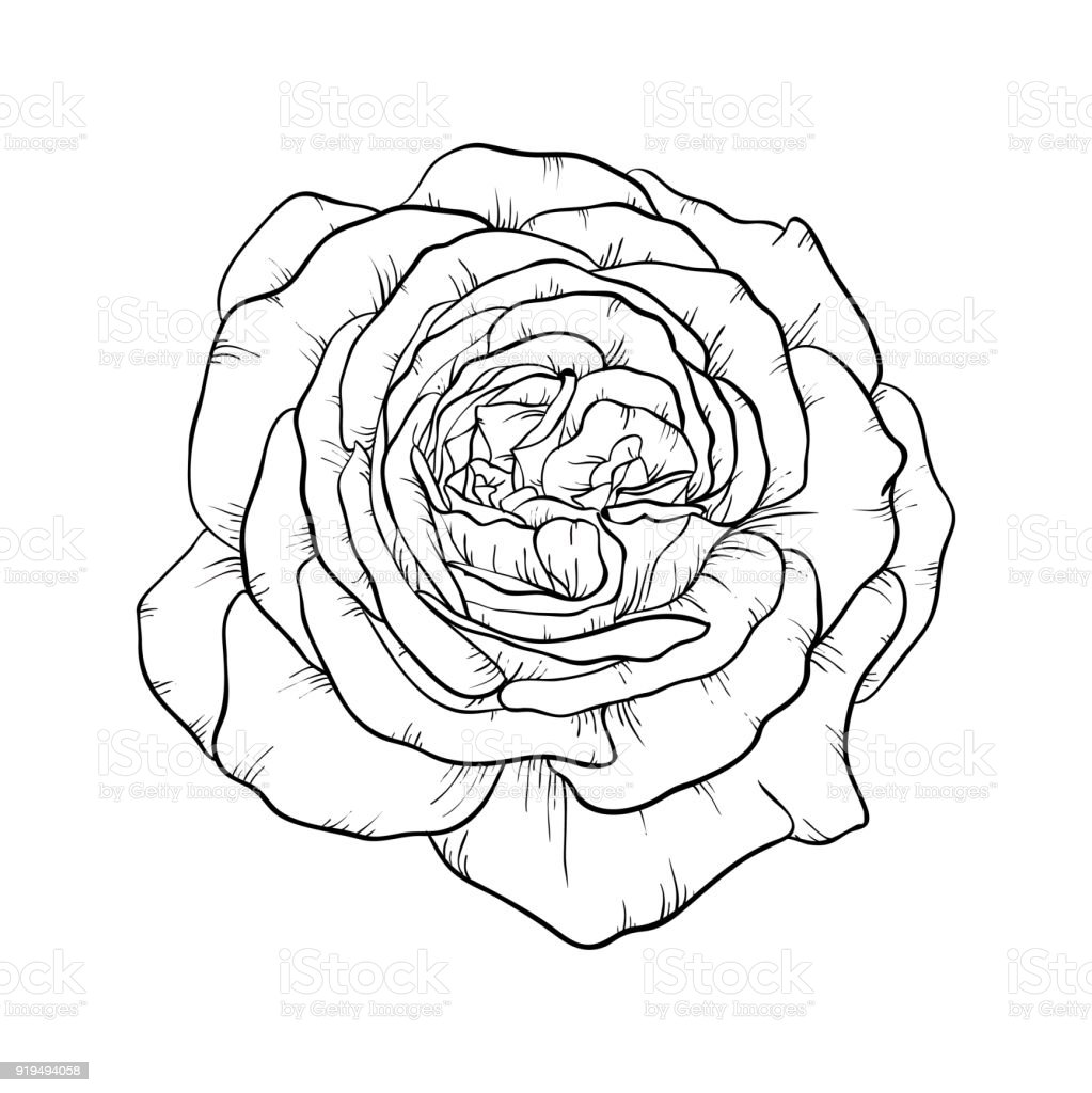 Beautiful Black And White Rose Isolated On Background Design Greeting Card Invitation Of The