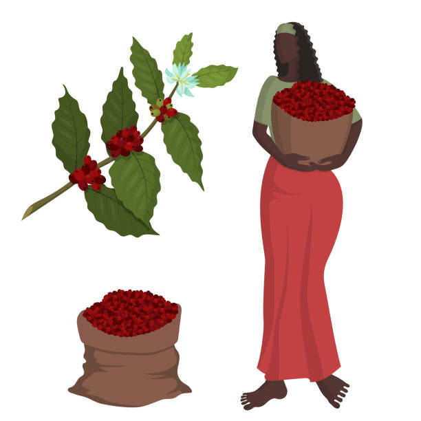 illustrazioni stock, clip art, cartoni animati e icone di tendenza di beautiful black woman in a long skirt with a basket of coffee berries at the coffee harvest - coffee farmer