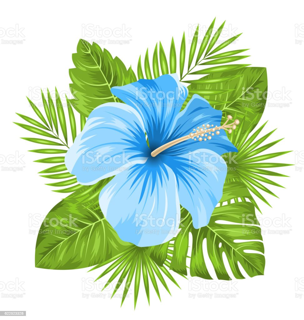 Beautiful blue hibiscus flowers blossom and tropical leaves stock beautiful blue hibiscus flowers blossom and tropical leaves royalty free beautiful blue hibiscus flowers blossom izmirmasajfo Choice Image