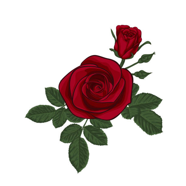 illustrazioni stock, clip art, cartoni animati e icone di tendenza di beautiful bouquet with red roses and leaves. floral arrangement. design greeting card and invitation of the wedding, birthday, valentine s day, mother s day and other holiday - rosa rossa