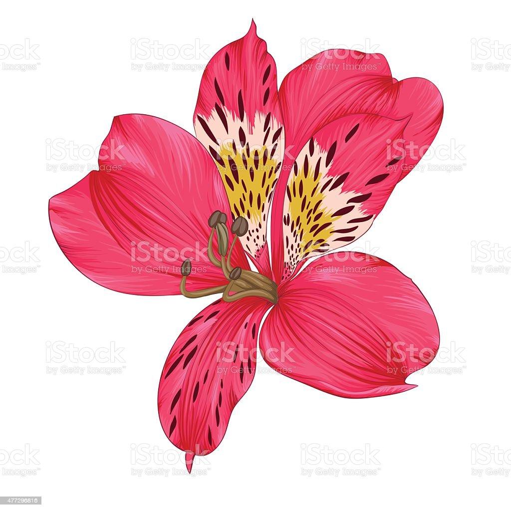 Hermosa rosa brillante alstroemeria aislado sobre fondo blanco - ilustración de arte vectorial
