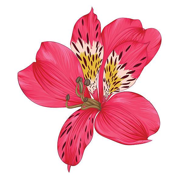 wunderschöne bright pink inkalilie, isoliert auf weißem hintergrund - inkalilie stock-grafiken, -clipart, -cartoons und -symbole