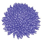 beautiful chrysanthemum isolated on white background.