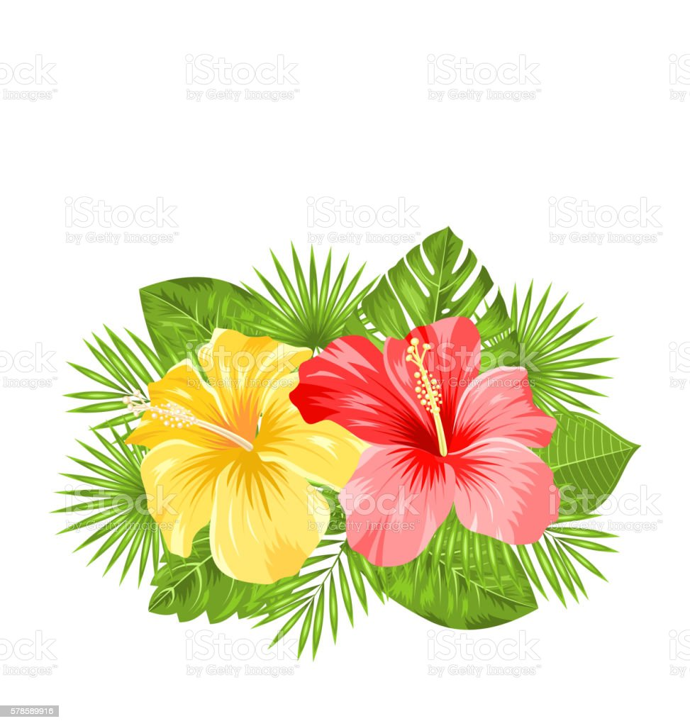 Beautiful colorful hibiscus flowers blossom and tropical leaves beautiful colorful hibiscus flowers blossom and tropical leaves royalty free beautiful colorful hibiscus flowers blossom izmirmasajfo