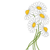 Beautiful daises on white background. Floral vector illustration.