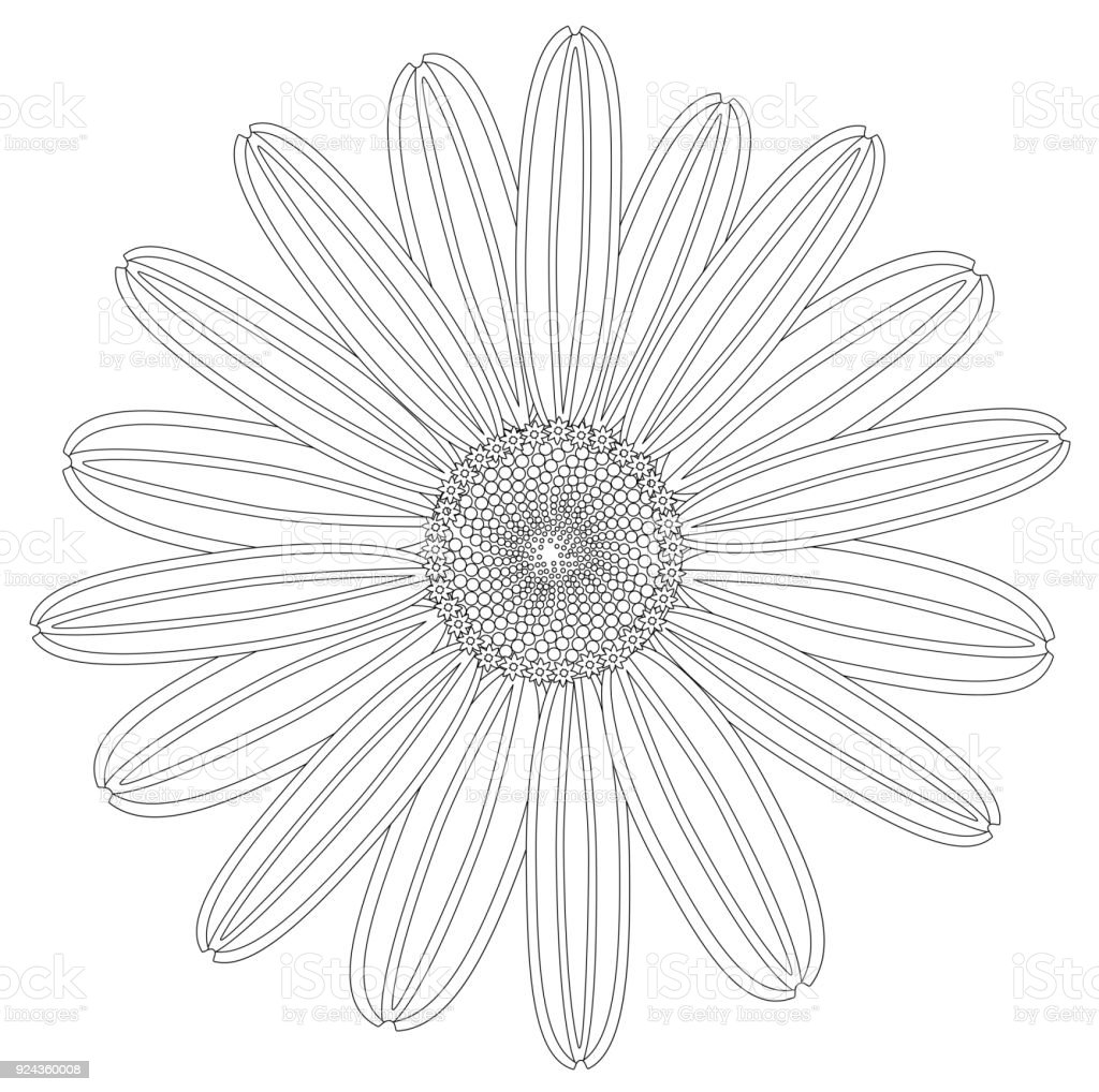 Beautiful Drawing Daisy Flower Stock Vector Art More Images Of