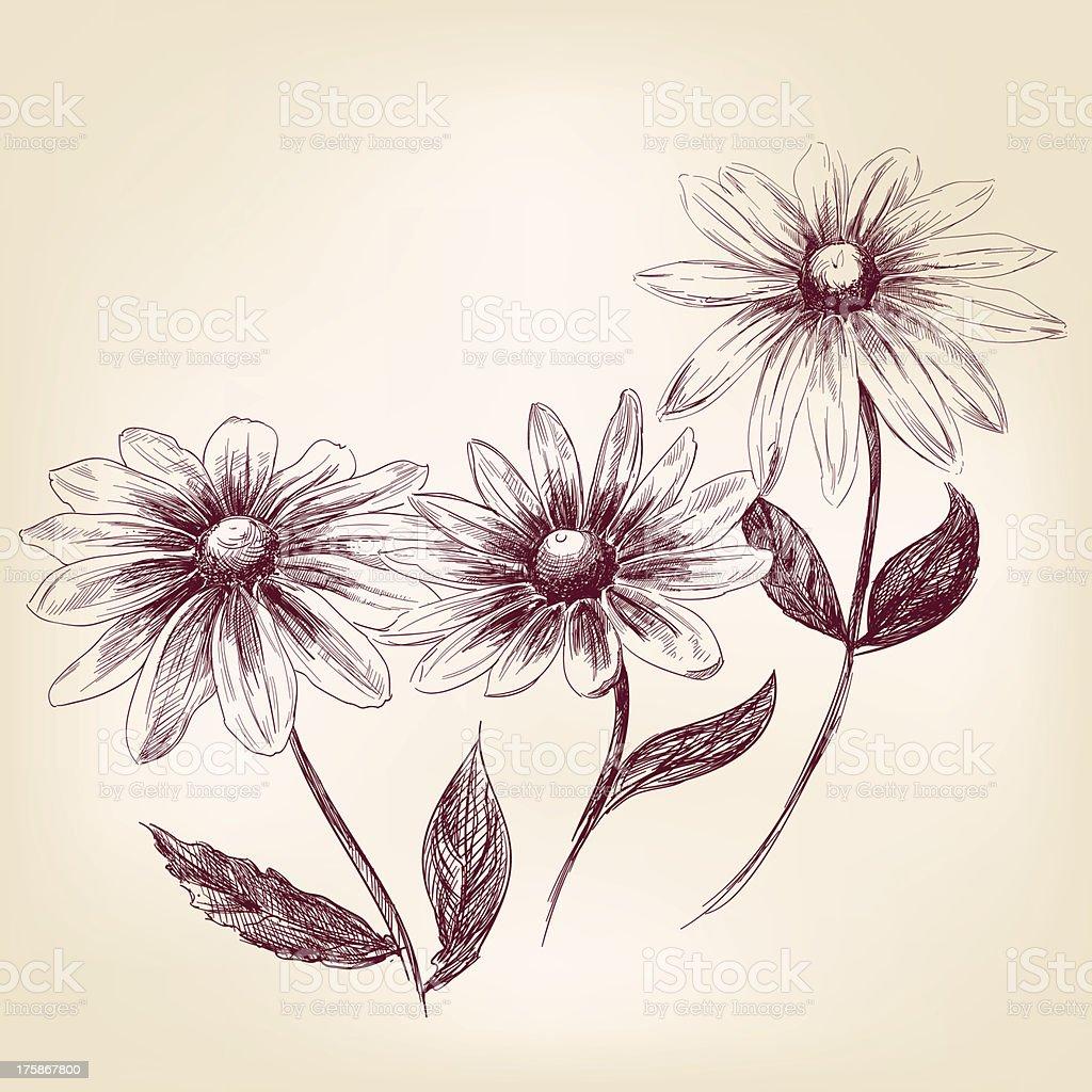 Beautiful Flower daisies  vector illustration royalty-free stock vector art