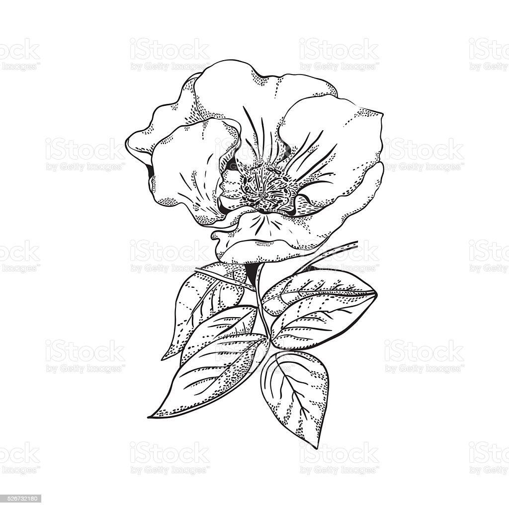 Beautiful Flower Line Drawing : Beautiful flower of wild rose line art monochrome stock