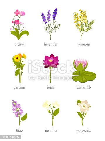 Beautiful flowers flat vector illustrations set. Orchid, lavender and mimosa. Botanical encyclopedia design elements. Gerbera, lotus and water lily. Wildflowers with names. Lilac, jasmine and magnolia