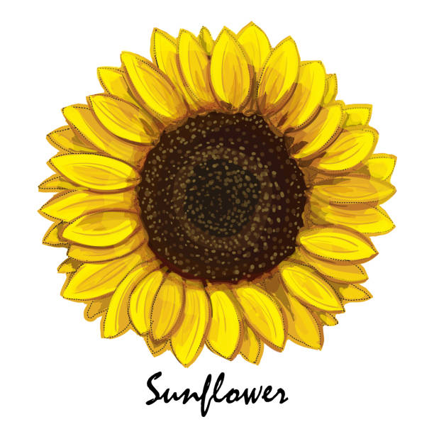 beautiful hand-drawn sunflower (helianthus) in vector. - sunflower stock illustrations