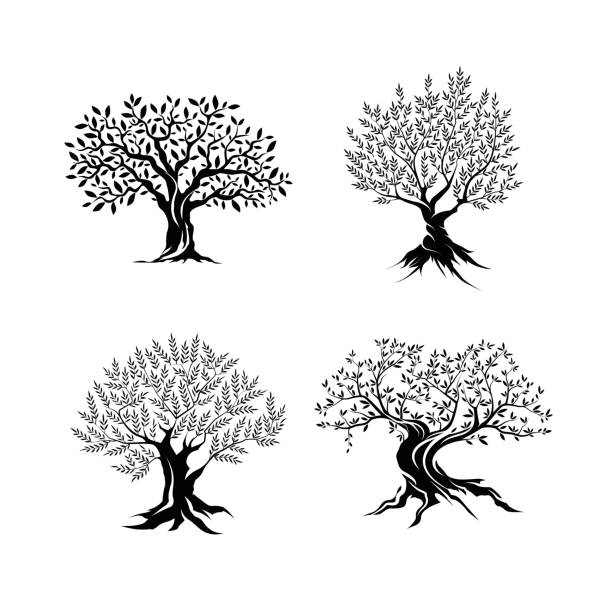 beautiful magnificent olive tree silhouette isolated on white background. - tree stock illustrations, clip art, cartoons, & icons