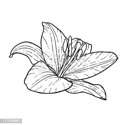 beautiful monochrome black and white bouquet lily isolated on background. Hand-drawn. design greeting card and invitation of the wedding, birthday, Valentine s Day, mother s day and other holiday.