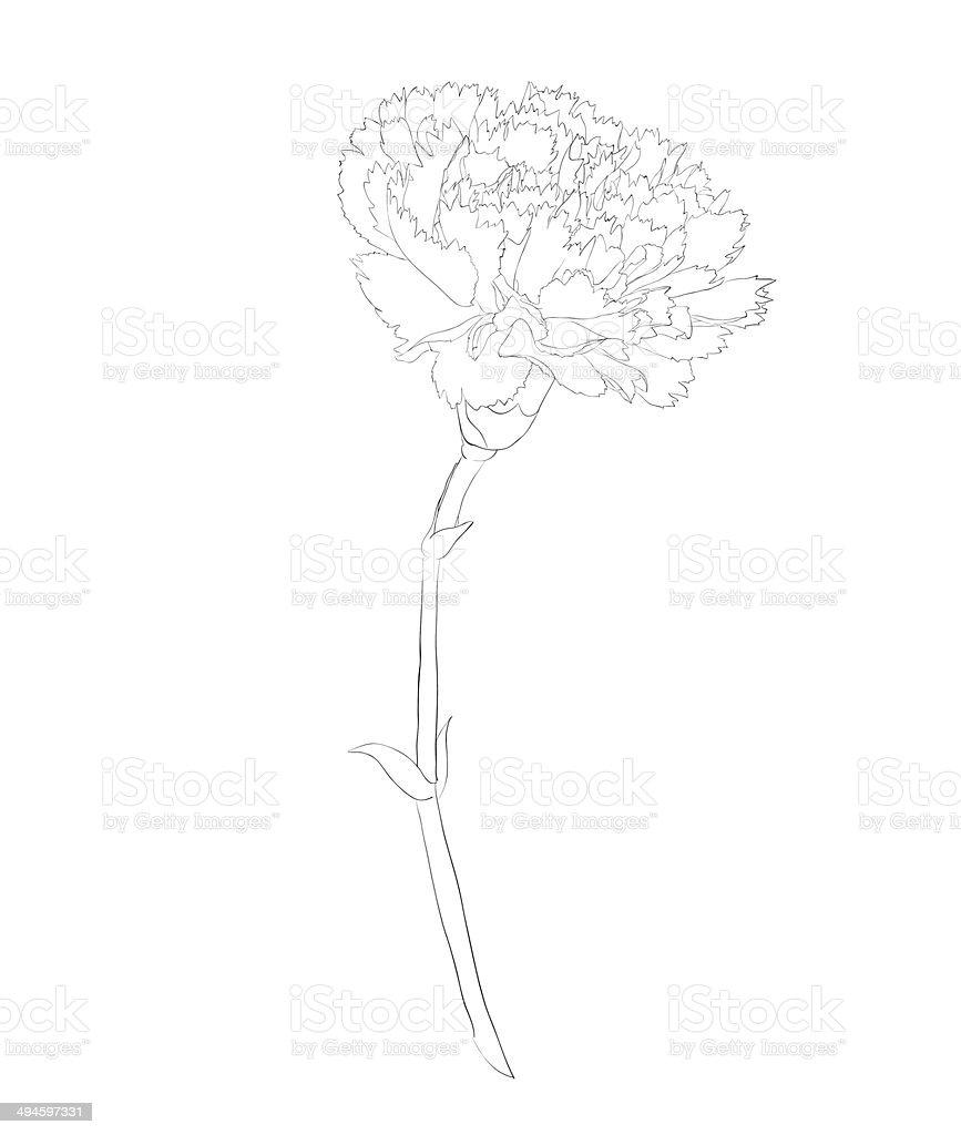 beautiful monochrome black and white carnation flower isolated on white background.
