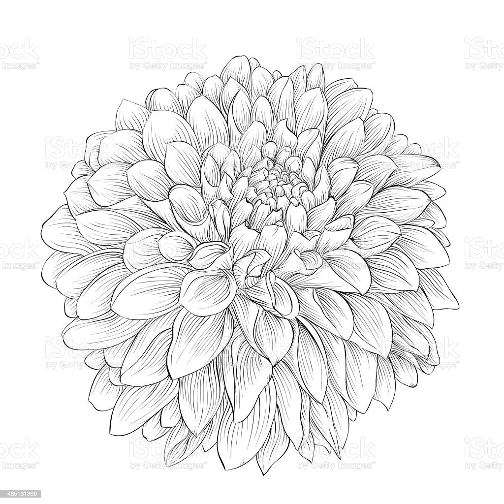 beautiful monochrome black and white dahlia flower isolated on BMW 550I Sport Package beautiful monochrome black and white dahlia flower isolated on background royalty free beautiful monochrome