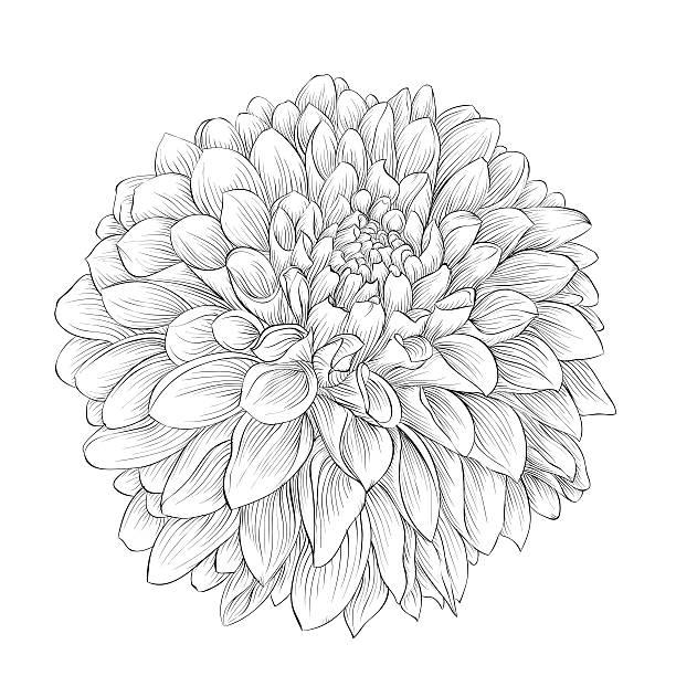 stockillustraties, clipart, cartoons en iconen met beautiful monochrome black and white dahlia flower isolated on background. - dahlia