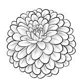 beautiful monochrome black and white dahlia flower isolated