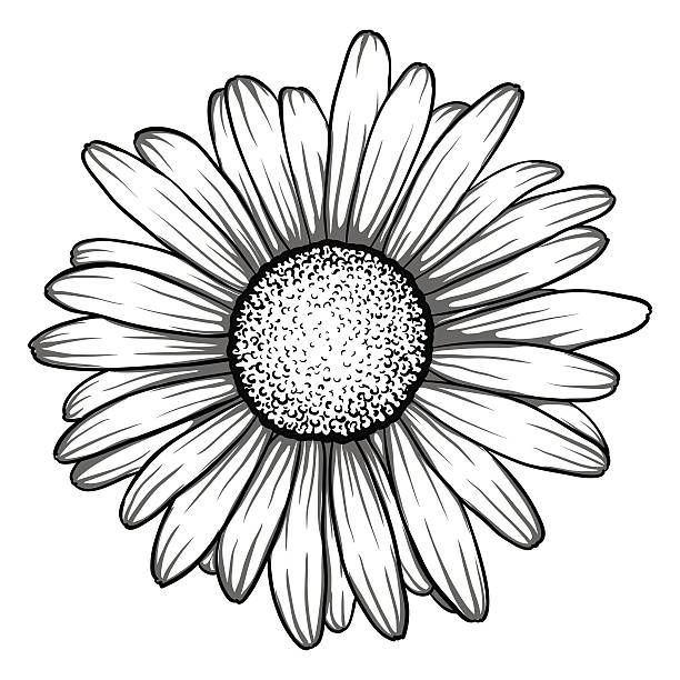 beautiful monochrome, black and white daisy flower isolated. beautiful monochrome, black and white daisy flower isolated. for greeting cards and invitations of the wedding, birthday, Valentine's Day, mother's day and other seasonal holiday chamomile plant stock illustrations