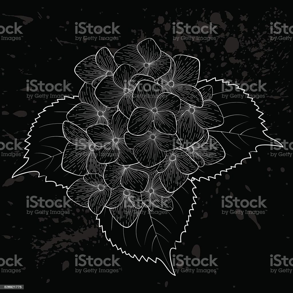 beautiful monochrome, black and white flower hydrangea isolated....