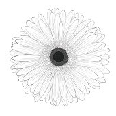 beautiful monochrome, black and white gerbera flower isolated.