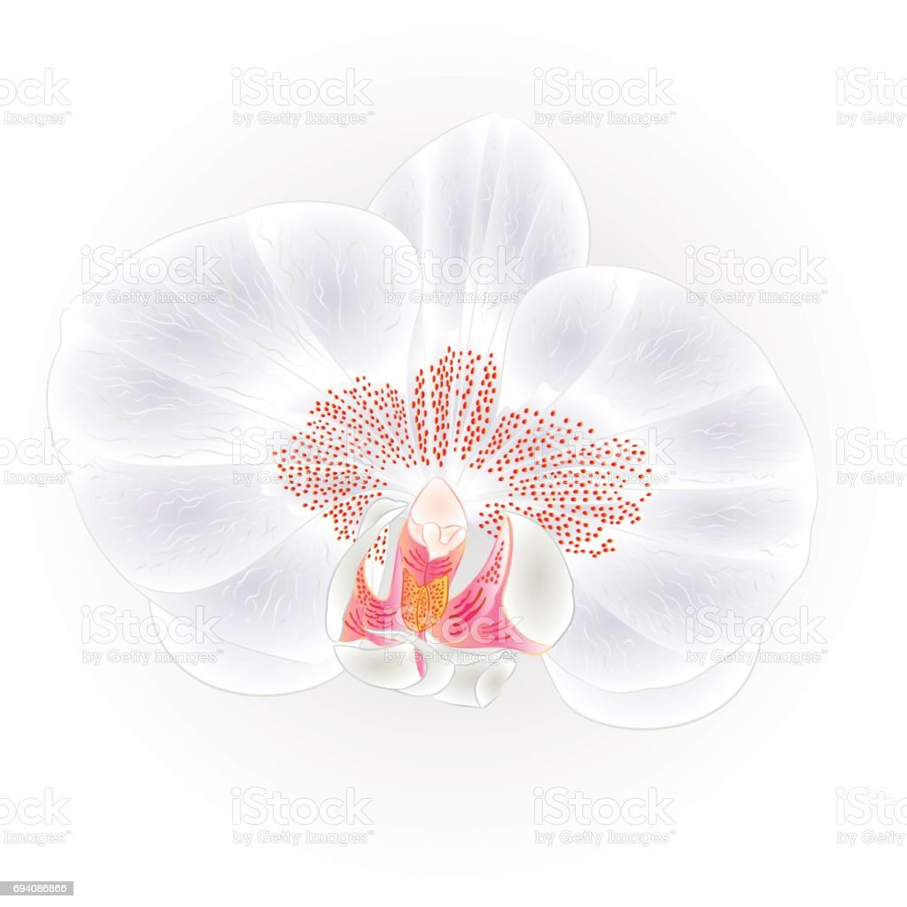 Belle Orchidee Blanche Fleur Tropicale Phalaenopsis Closeup Isole