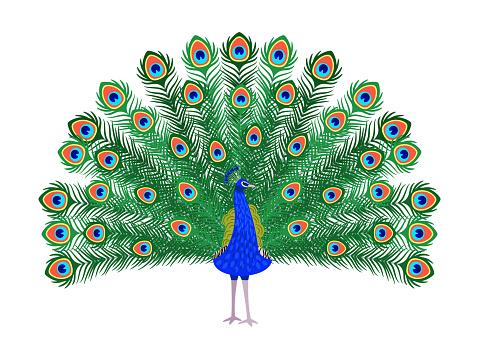 Beautiful peacock cartoon bird