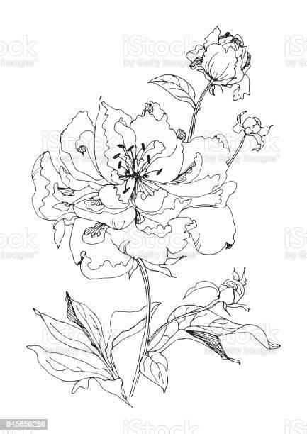 Beautiful peonies on stem with leaves black and white vector vector id845856286?b=1&k=6&m=845856286&s=612x612&h=azneoszs2lwj n2zzoxlecrlws35wznox0ob3tbqvws=