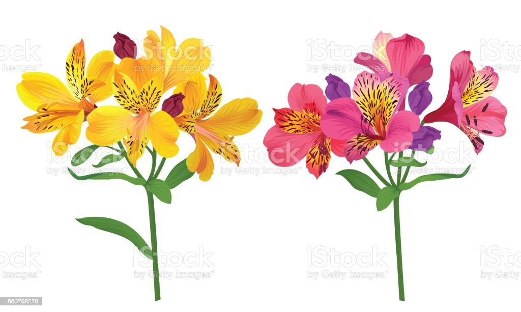 Flores de lirio hermoso alstroemeria rosa y amarillo sobre fondo blanco. - ilustración de arte vectorial