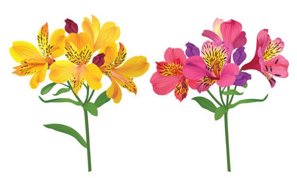 schöne rosa und gelb alstroemeria lilie blumen auf weißem hintergrund. - inkalilie stock-grafiken, -clipart, -cartoons und -symbole