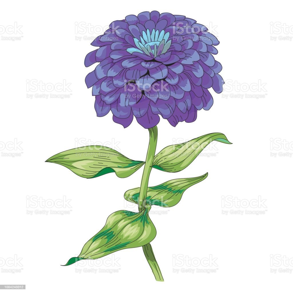 Beautiful Purple Flower Zinnia Isolated On White Background A Large ...