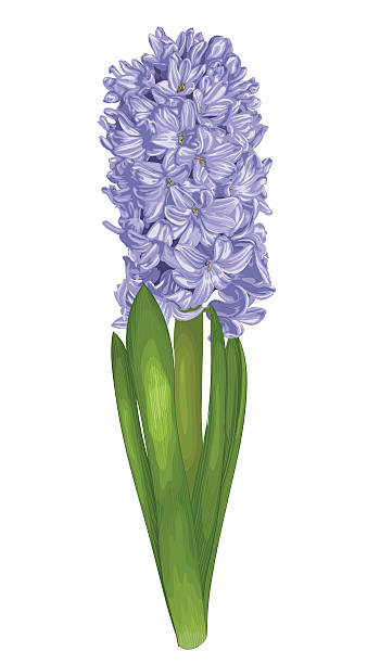Best Hyacinth Illustrations, Royalty-Free Vector Graphics ...
