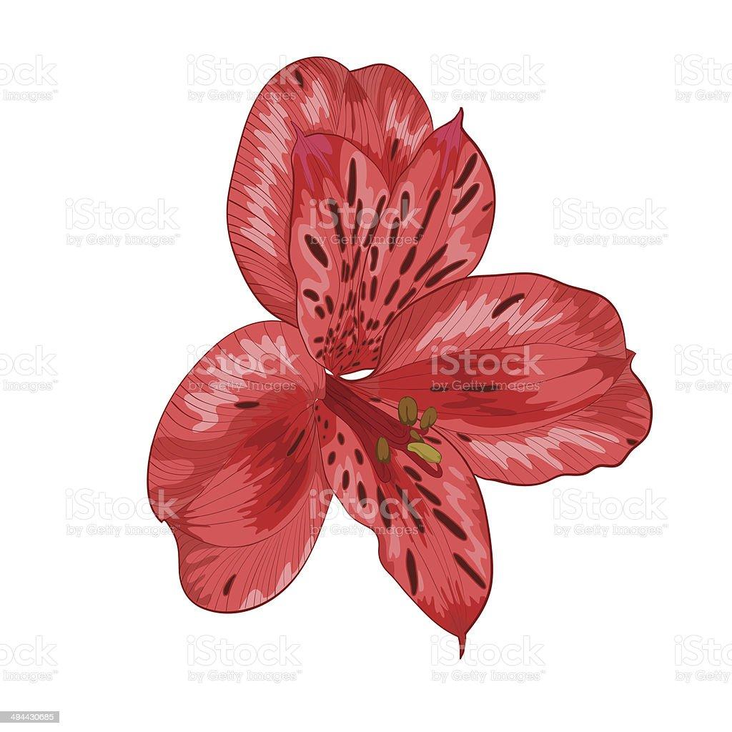 Hermosa flor alstroemeria rojo aislado sobre fondo blanco - ilustración de arte vectorial