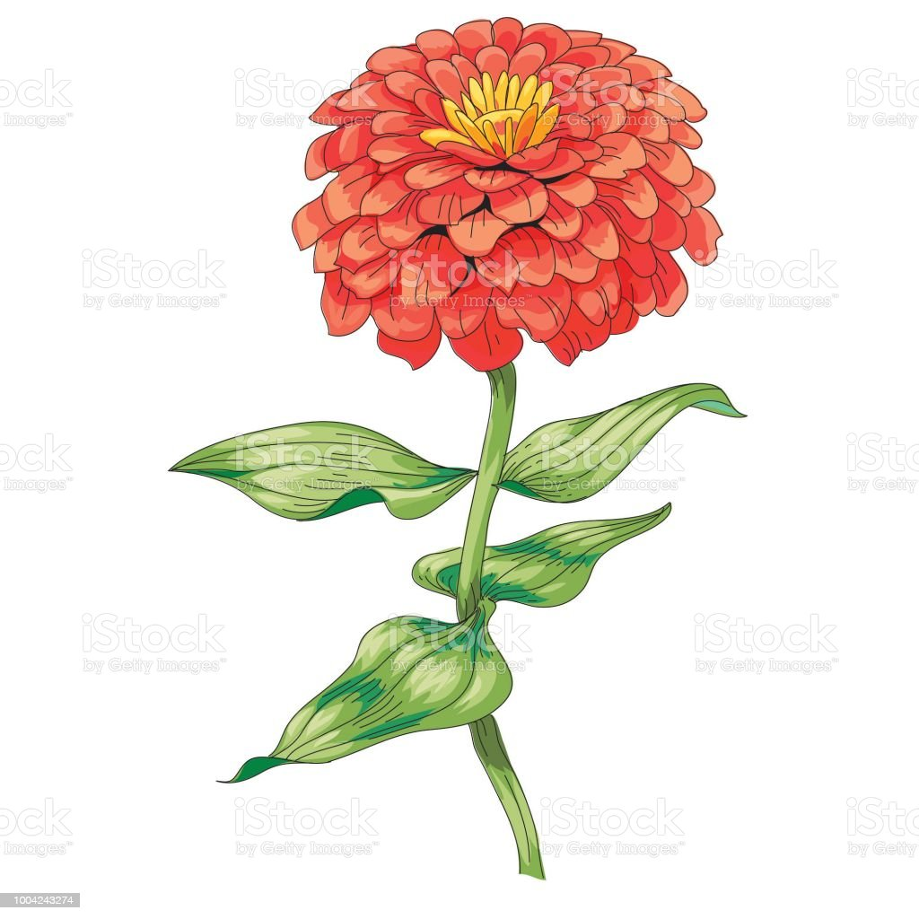 Zinnia Belle Fleur Rouge Isole Sur Fond Blanc Un Grand Bourgeon Et