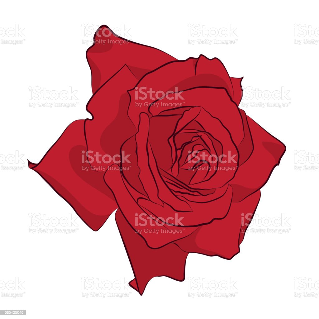 Beautiful Red Rose Isolated On White Background Botanical Silhouette