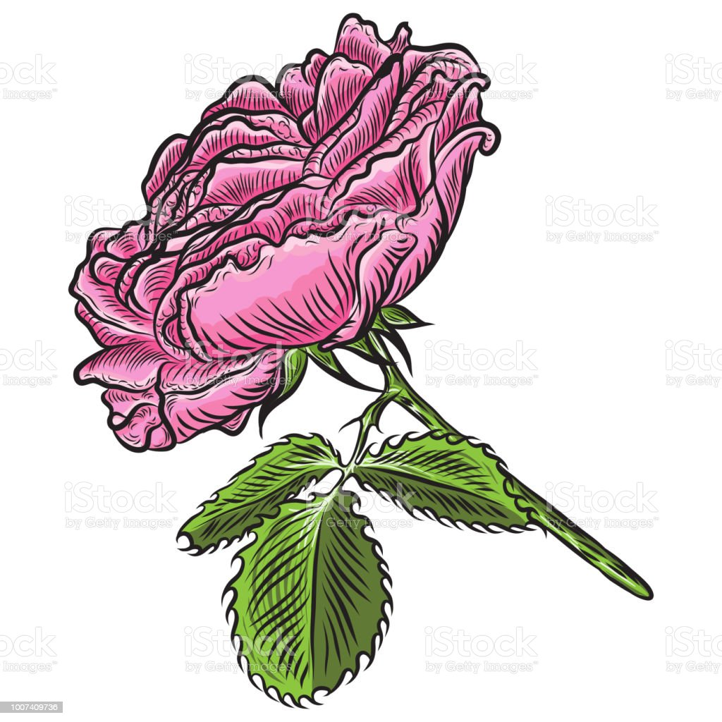 Beautiful Red Rose Isolated On White Background Realistic Hand Drawn