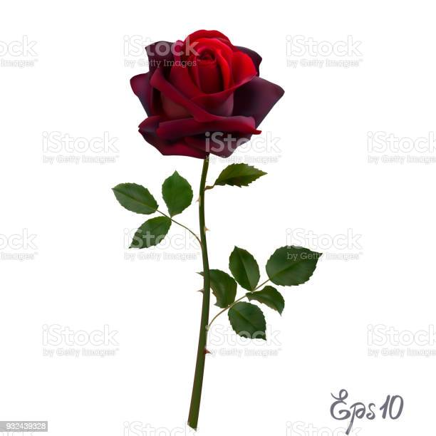 Beautiful red rose isolated on white background vector id932439328?b=1&k=6&m=932439328&s=612x612&h=ivcg8mdrya3mhrevvvkgfbz7tsbdnijdf6pbxscwf m=