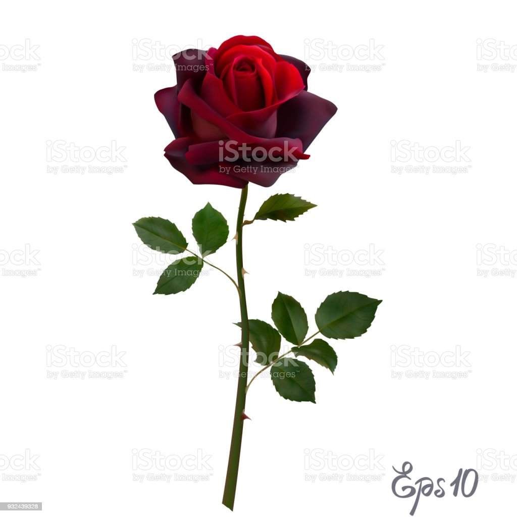 Beautiful red rose Isolated on white background. vector art illustration