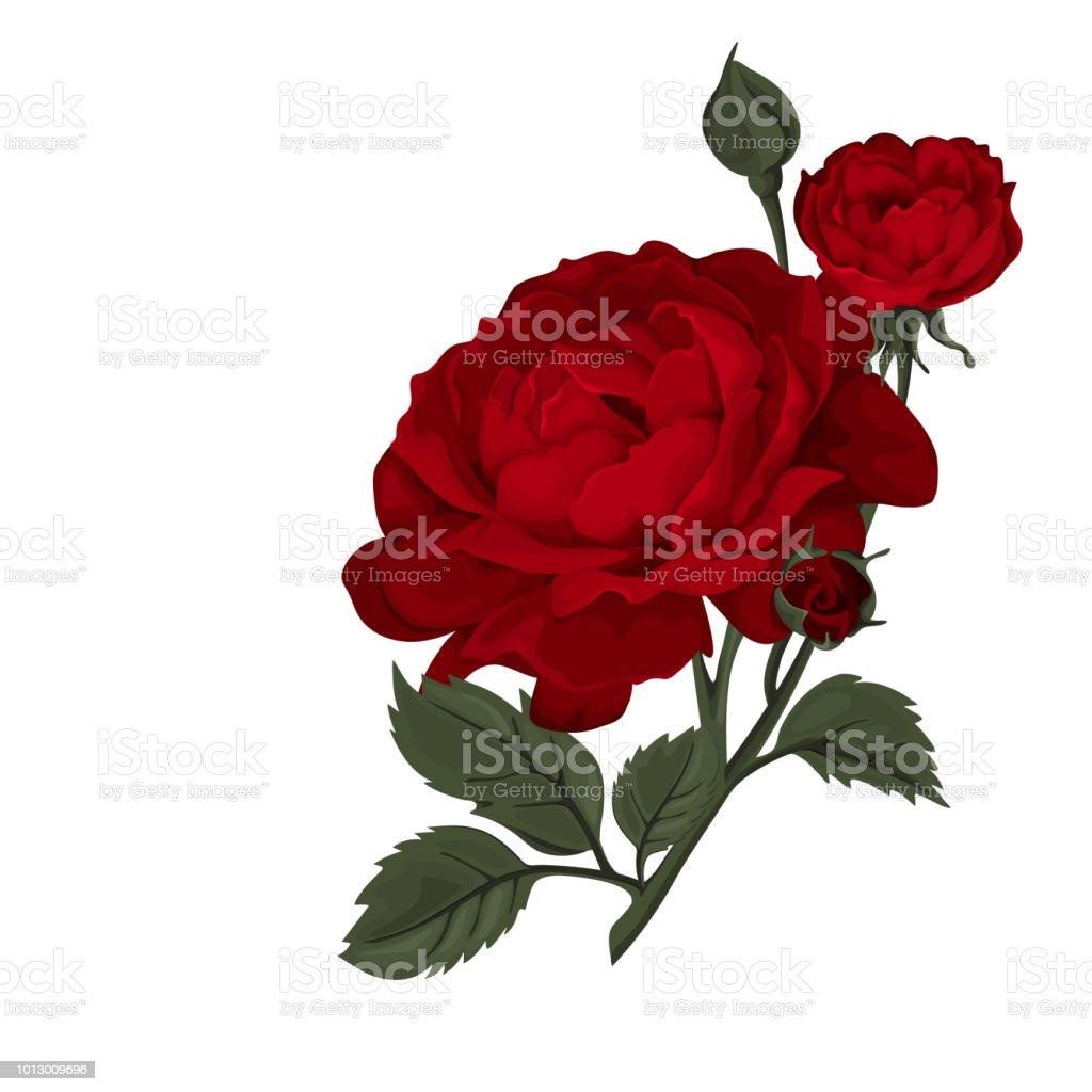Ilustración De Rosa Hermosa Roja Aislado En Blanco Perfecto