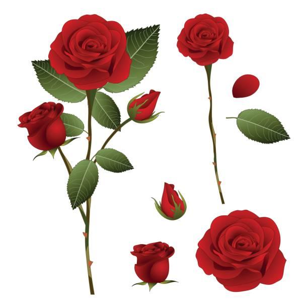 illustrazioni stock, clip art, cartoni animati e icone di tendenza di beautiful red rose - rosa. valentine day. vector illustration. isolated on white background - rosa rossa