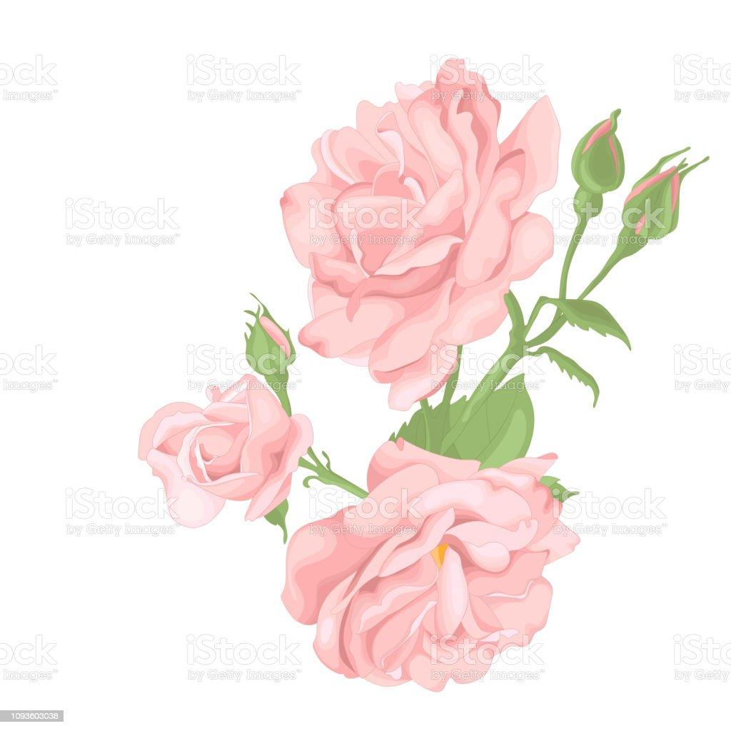 Ilustración De Hermosa Rosa Aislado Sobre Fondo Blanco