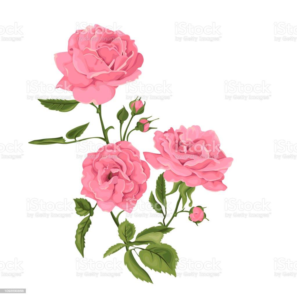Ilustración De Hermosa Rosa Aislado Sobre Fondo Blanco Rosa