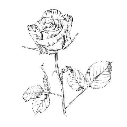 Beautiful Rose Pen and Ink Floral Drawing. Vector EPS10 Illustration