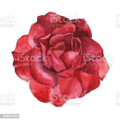 Beautiful rose watercolor handpainted isolated on white background vector id493084884?b=1&k=6&m=493084884&s=612x612&h=bztynjztarnlgz2unlnwxrqwilmhk p1hb0owgwnali=