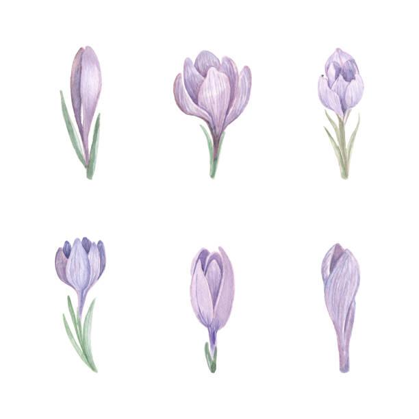 illustrations, cliparts, dessins animés et icônes de belle série d'éléments floraux de safran de ressort. - crocus