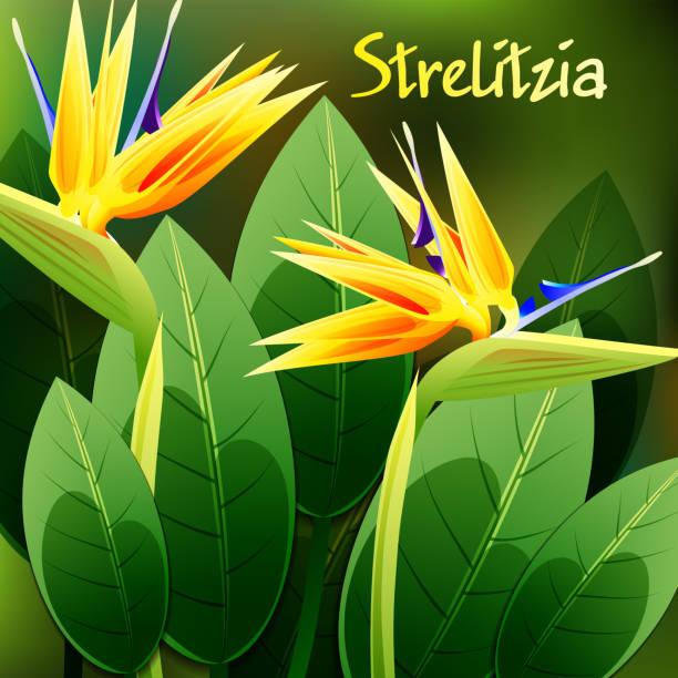 ilustrações de stock, clip art, desenhos animados e ícones de beautiful spring flowers strelitzia reginae. cards or your design with space for text. vector - funchal madeira