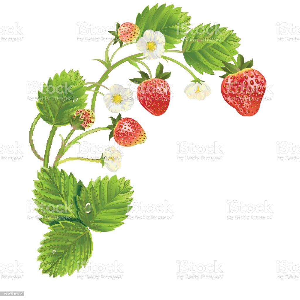 beautiful strawberries. vector illustration of a realistic Lizenzfreies beautiful strawberries vector illustration of a realistic stock vektor art und mehr bilder von baumblüte