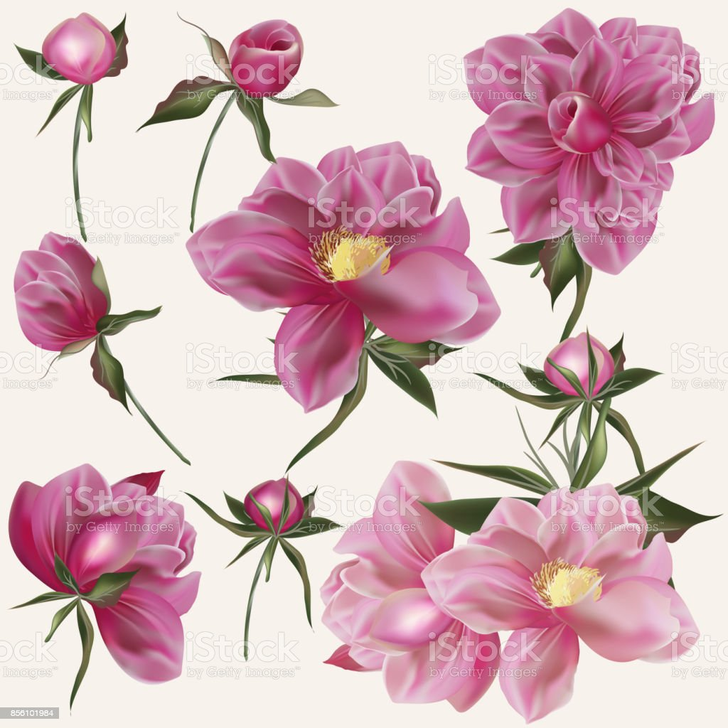 Beautiful Vector Collection Of Realistic Peony Flowers In Pink Color