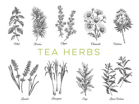 Beautiful vector hand drawn tea herbs Illustrations.